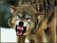 a%20wolf%20with%20an%20open%20mouth